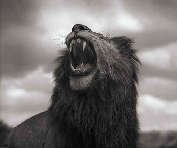 Black-And-White-Lion-Roar